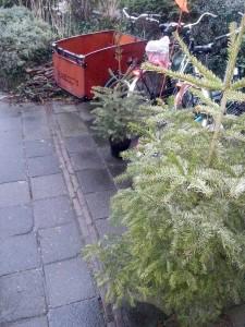 Te herplanten kerstbomen